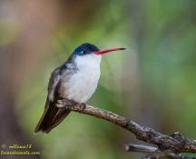 Violet-crowned Hummingbird