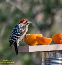 Ladder-back woodpecker