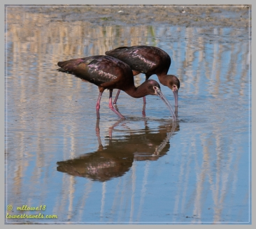 A pair of White-faced Ibis