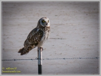 My first sighting of a Short-eared Owl