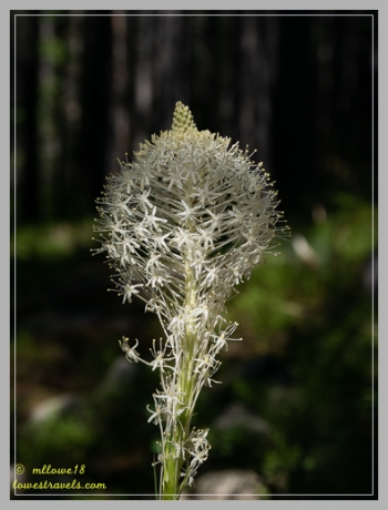 Bear Grass flower which is abundant at Glacier NP