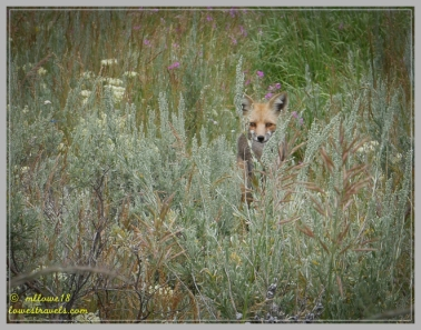 A Red Fox with its meal