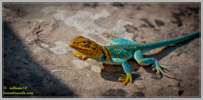 Yellow-headed collared Lizard