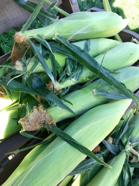 Sweet corn from Olathe