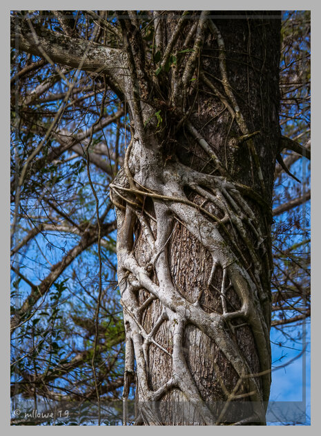 Strangler Figs can kill large trees