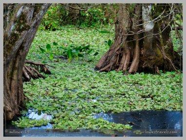 Water-lettuce floating on a rosette of leaves