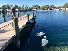 Swans on Lake San Marino