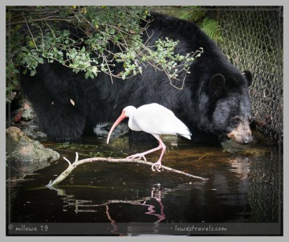 A bear and an Ibis ignore each other