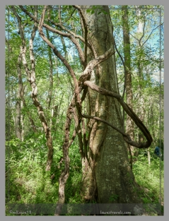 Vines engulfing tree