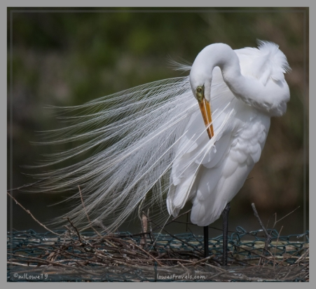 Its snowy-white plumage is a picture of striking beauty