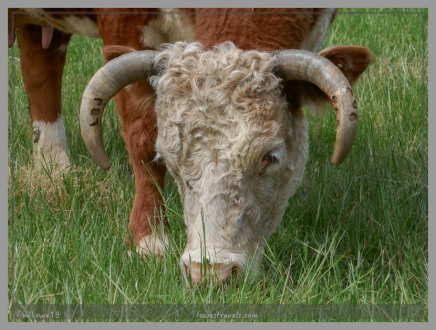 Descendants of LBJ's hereford cows