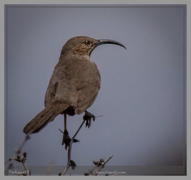 The greeter-Crissal Thrasher