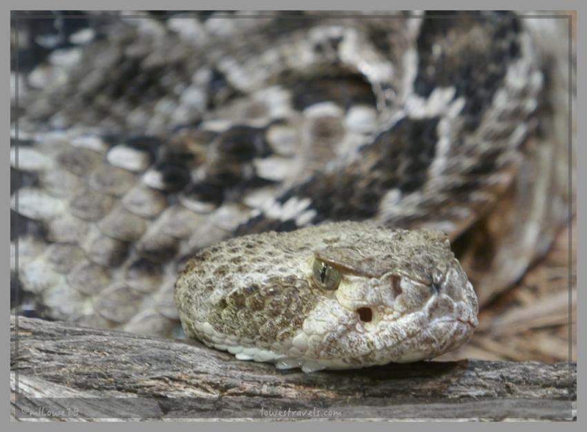 A mean looking Arizona Diamondback Rattlesnake