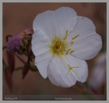 Tufted Evening Primrose