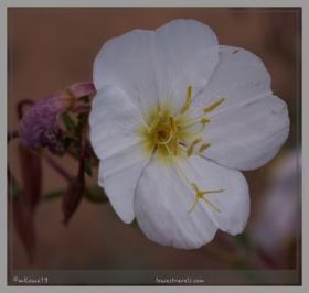 Tufted Evening Primrose
