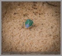 A colored Stink Bug...