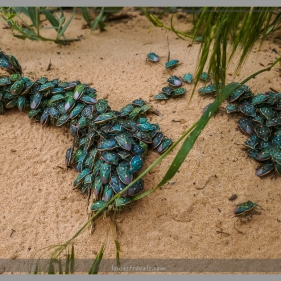 ...many colored Stink Bugs