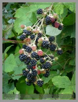 Wild blackberries along the trail