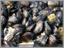 Literally millions of Mussels