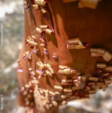 A Manzanita shedding/peeling its bark