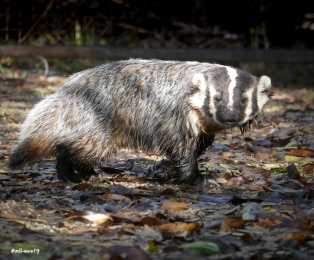 An American Badger posed for me before scampering into the bushes at Hassayampa River Preserve