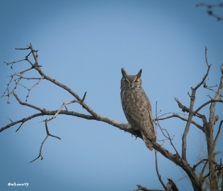 A Great Horned Owl was waiting for breakfast to come by