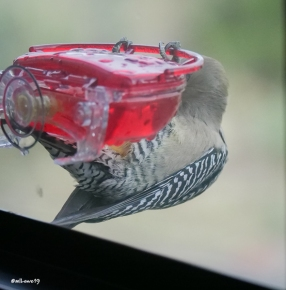 Acrobatic stunts of a Gila Woodpecker