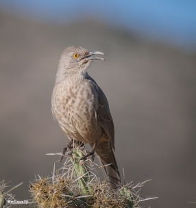 What? asked Curve-billed Thrasher