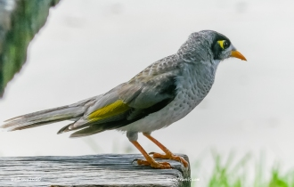 Noisy Miner - and it is noisy!