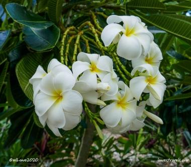 Plumeria tree blooms