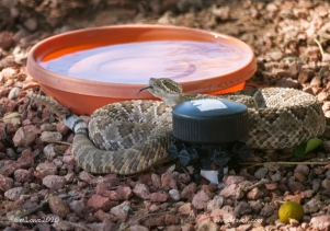 Even a rattler takes a sip