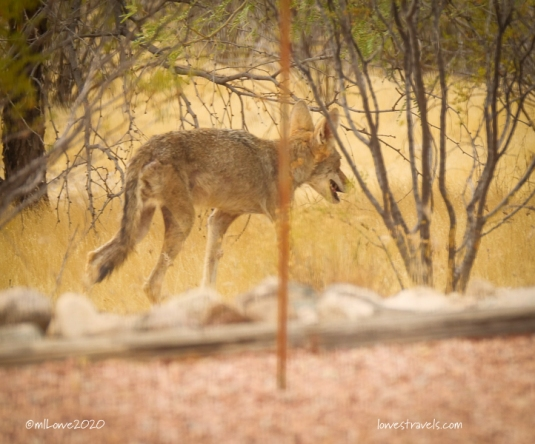 A coyote strolls through our yard